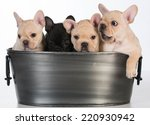 Stock photo litter of french bulldog puppies in a wash basin on white background weeks old 220930942