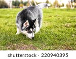 The Husky Puppy Sniffing The...