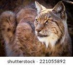 portrait of a wild iberian lynx   Shutterstock . vector #221055892