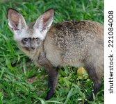 single bat eared fox in public... | Shutterstock . vector #221084008