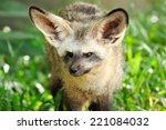 single bat eared fox in public... | Shutterstock . vector #221084032