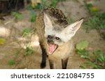 single bat eared fox in public... | Shutterstock . vector #221084755