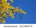 Small photo of Flowers of Golden wattle. Acacia pycnantha macro photo