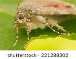 catocala elocata | Shutterstock . vector #221288302