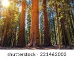 Sequoia Vs Man. Giant Sequoias...