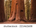 giant sequoia trees in sequoia...