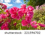 Stock photo pink roses in the garden 221596702
