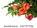 Campsis Radicans Flowers ...