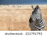 Zebra Profile On The Plains Of...