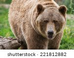 Close Up Of An Adult Grizzly...