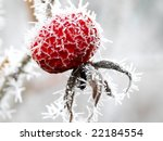 Red Rose Hips Macro In Winter...