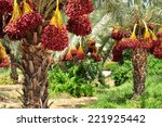 dates palm branches with ripe... | Shutterstock . vector #221925442