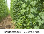 A Field With Common Hop Plants...