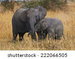 Stock photo two elephants brothers of different ages demonstrate their affection each other 222066505