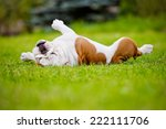 English Bulldog Rolling On Grass