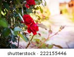 Red Rose In The Flowerbed