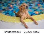 Golden Retriever In Pool