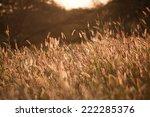 sunset on reeds | Shutterstock . vector #222285376