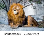Large Lion Lying On A Stone In...