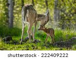Stock photo white tailed deer odocoileus virginianus licks her fawn captive animals 222409222