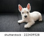 Stock photo puppy west highland white terrier 222439528