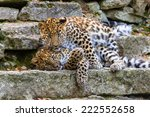 Amur Leopard Cubs Playing