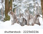 lynx family with four bobcats...   Shutterstock . vector #222560236