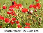 wild red poppies growing in the ... | Shutterstock . vector #222635125