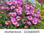 Purple Autumn Flowers. Wild...
