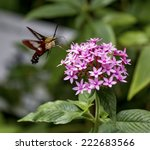 A Hummingbird Moth Eating From...