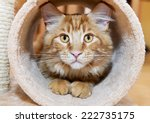 Stock photo maine coon kitten in tube of scratching post 222735175
