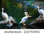 group of great white pelicans... | Shutterstock . vector #222752452