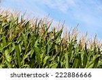 Green Corn Plants On A Big Field