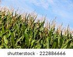 Green Corn Plants On A Big Field
