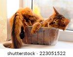 cute somali cat lying inside... | Shutterstock . vector #223051522