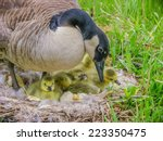 Canada Goose Sitting On A Nest...