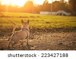 Stock photo little chihuahua in the park 223427188