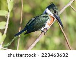 Small photo of Amazon kingfisher