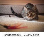 Stock photo cat stalking his feather toy at home 223475245