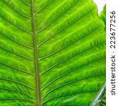 Small photo of Leaf of Giant Alocasia or Giant Taro or Elephant Ear Taro. (Alocasia macrorrhizos (L.) G.Don)