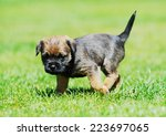 Cute Little Border Terrier...