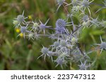 Eryngo Flowers On A Field...