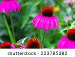 Rudbeckia  Coneflower Pink...