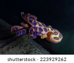 the deadly blue ringed octopus | Shutterstock . vector #223929262