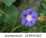 Morning Glory Ipomea Flower