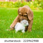 Stock photo bordeaux puppy dog playing with kitten 223962988