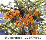 Pyracantha Berries Are Small...
