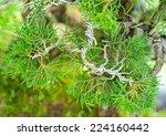 Bonsai Tree Making   Branch Is...