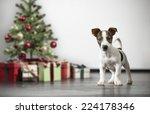 Little Jack Russell Terrier ...