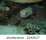 diodontidae  porcupinefish   Shutterstock . vector #2242017